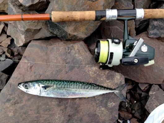 Abu mackerel